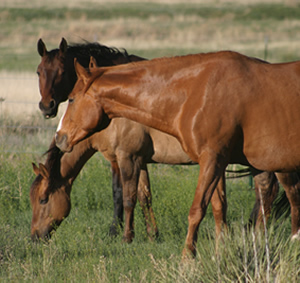 Provide grass, or feed hay in as many feedings as your schedule permits. The horse's digestive system is geared to taking in small amounts over most of the day, rather than eating once or twice a day at feeding time.
