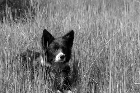 A ranch border collie