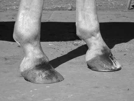 The toes grow faster than the heels, whether the hoof is shod or not. Contrast the shoeing-in-progress hoof's shorter toe and consistent pastern-hoof angle with the shoe-just-pulled hoof's longer toe. Overlook the toe flare (the excess has been removed in the nearly finished hoof) and note the difference between the hoof angles. Breakover is more difficult when the toe is long.