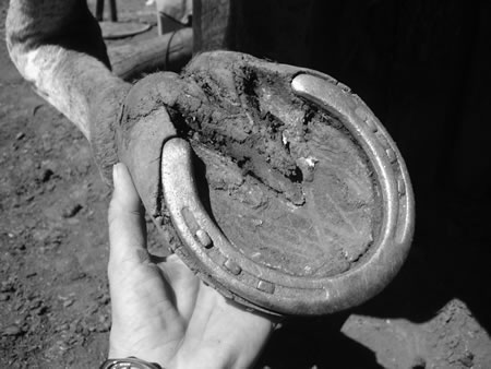 "In this extreme example, the growing hoof has carried the shoe forward so that the shoe heels now press on the ""seat of corn."" When the shoe was removed, reddish areas of bruising could be seen. The hoof has grown over the shoes at the quarters, too."